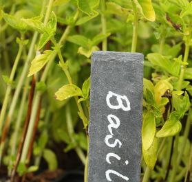 British Basil Plants | 3 Plants | By Plant Theory