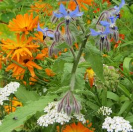 Borage Plants | 3 Plants | By Plant Theory