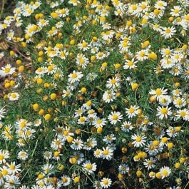 Chamomile Plants | 3 Plants | By Plant Theory