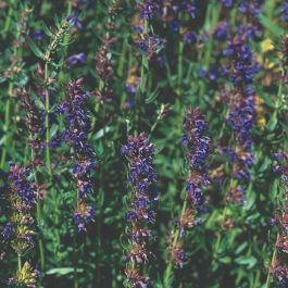 Hyssop Plants | 3 Plants | By Plant Theory