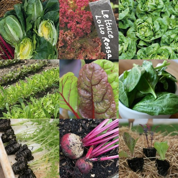 Quick Growing Salad Collection | 90 Plants | By Plant Theory