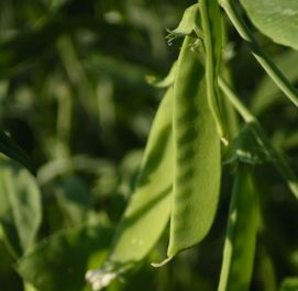 Gourmet Bean and Pea Collection | 60 Plants | By Plant Theory