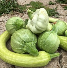 Colourful Courgette Collection | 12 Plants | By Plant Theory