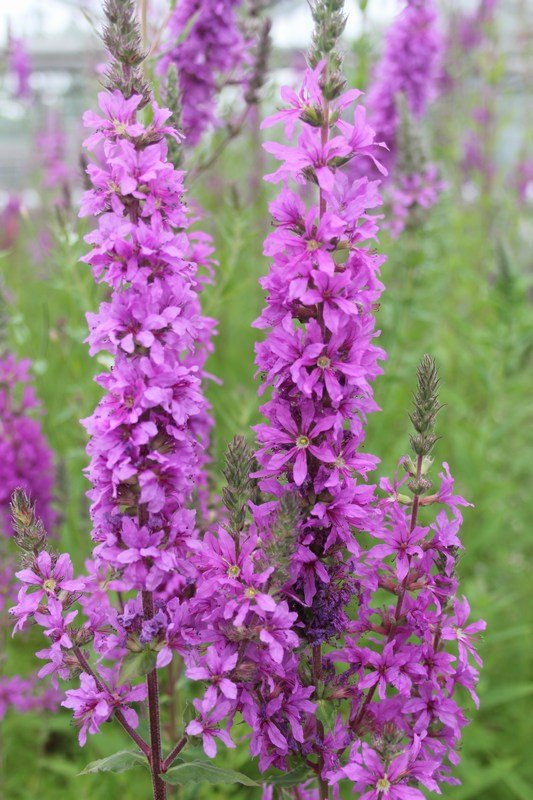 Purple Loosestrife Lythrum Salicaria - 3x 9cm Pots - Cut Back