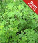 Upright Quadrifolia Marsilea Quadrifolia - 9cm Pot x 3