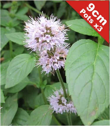 Water Mint Mentha Aquatica - 9cm Pot x 3 - Cut Back