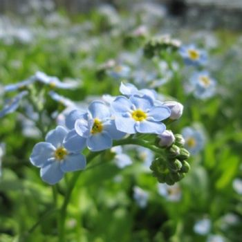 1L Water forget-me-not Myosotis Scorpioides