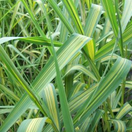 Large Variegated Common Reed Phragmites australis 'Variegatus' - 3L Pot