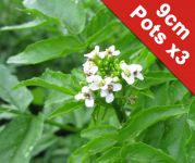 Watercress - Rorippa nasturtium aquaticum - 3x 9cm Pots - Cut Back