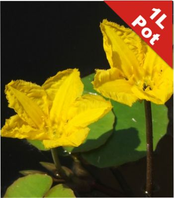 Yellow Floating Heart Nymphoides Peltata - 1L Pot