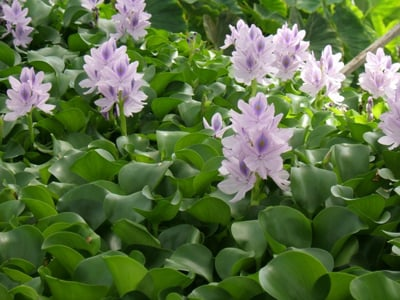 Water Hyacinth Eichhornia crassipes Pack of 10