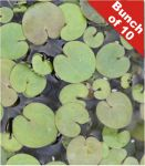 Frogbit Hydrocharis morsus-ranae Pack of 5