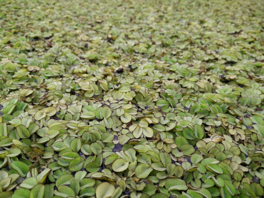 Water Butterfly Wings Salvinia Natans Pack of 10