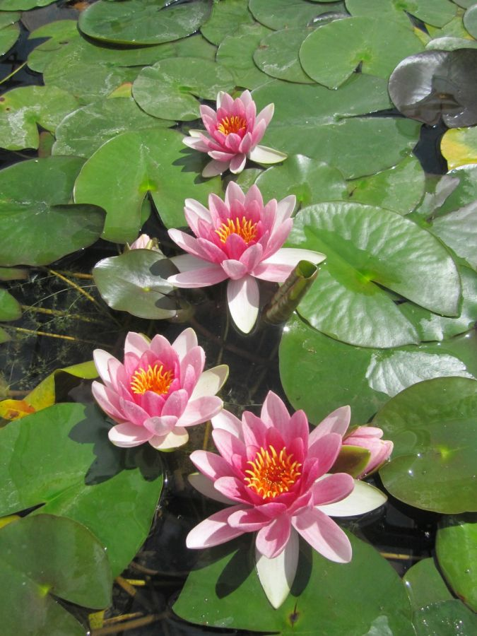 1L Water Lily 'Attraction' - Nymphaea 'Attraction'