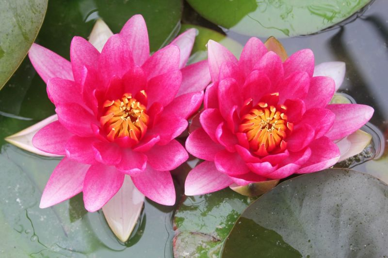 Large Water Lily 'Attraction' - Nymphaea 'Attraction' - 3L Pot
