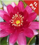 Water Lily 'Perry's Baby Red' - Nymphaea 'Perry's Baby Red' - 1L Pot