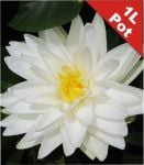 Double Petal White Water Lily - Nymphaea 'Gonnere' - 1L Pot