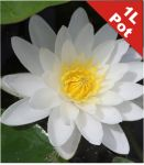 Water Lily 'White Sultan' - Nymphaea 'White Sultan' - 1L Pot