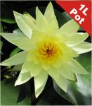 Double Petal Yellow Water Lily - Nymphaea 'Joey Tomocik' - 1L Pot
