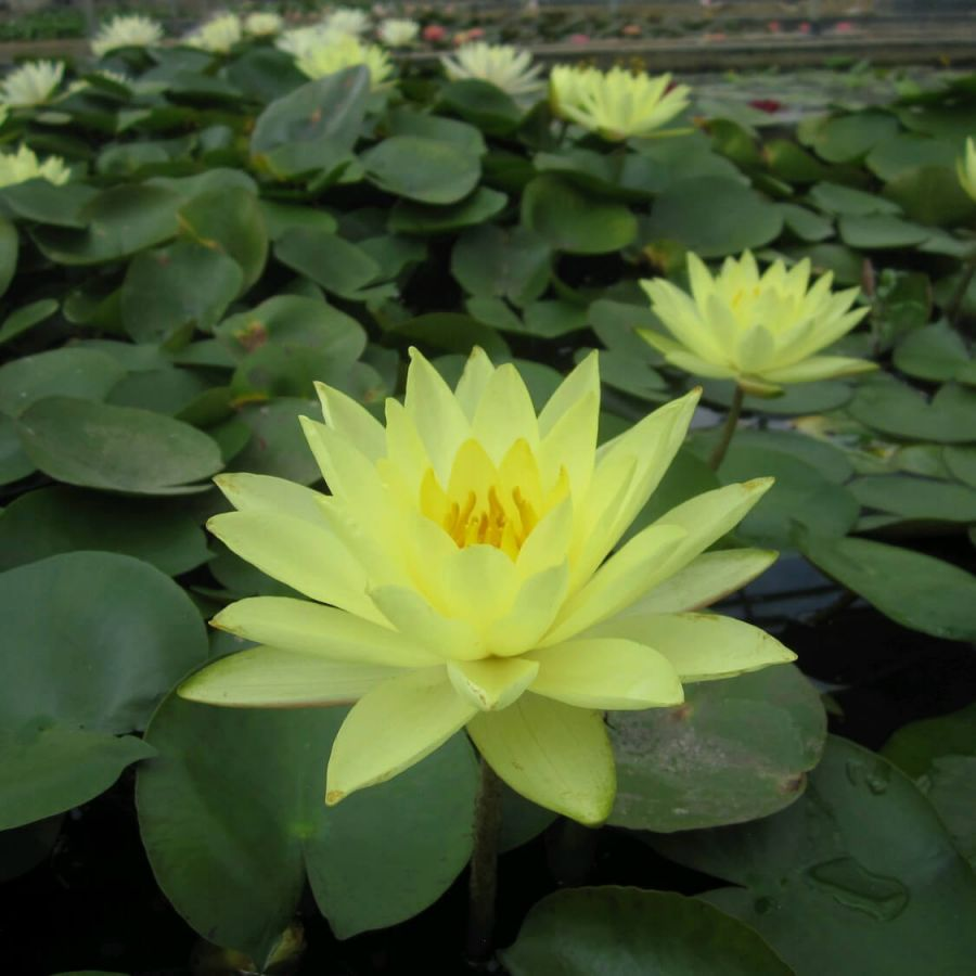Large Double Petal Yellow Water Lily - Nymphaea 'Joey Tomocik' - 3L Pot