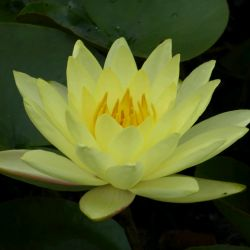 Extra Large Double Petal Yellow Water Lily - Nymphaea 'Joey Tomocik' - 30L Pot