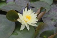 Water Lily 'Lemon Mist' - Nymphaea 'Lemon Mist' - 1L Pot