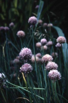 Chives Allium Schoenoprasum - 3x 9cm Pot