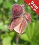 Water Avens 'Leonard's Variety' Geum Rivale - 3 x 9cm Pot - Cut Back