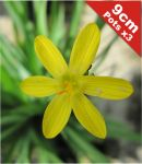 Golden Eyed Grass Sisyrinchium californicum - 3x 9cm Pots