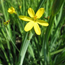 Large Golden Eyed Grass Sisyrinchium californicum - 3L Pot