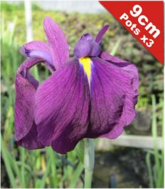 3x Double Flowered Iris Iris ensata - 9cm Pots