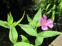 Great Purple Monkeyflower Mimulus lewisii - 3x 9cm Pots