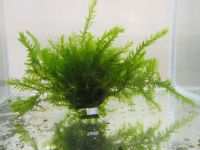 Water Moss Fontinalis antipyretica (oxygenating) - 5x Bunches