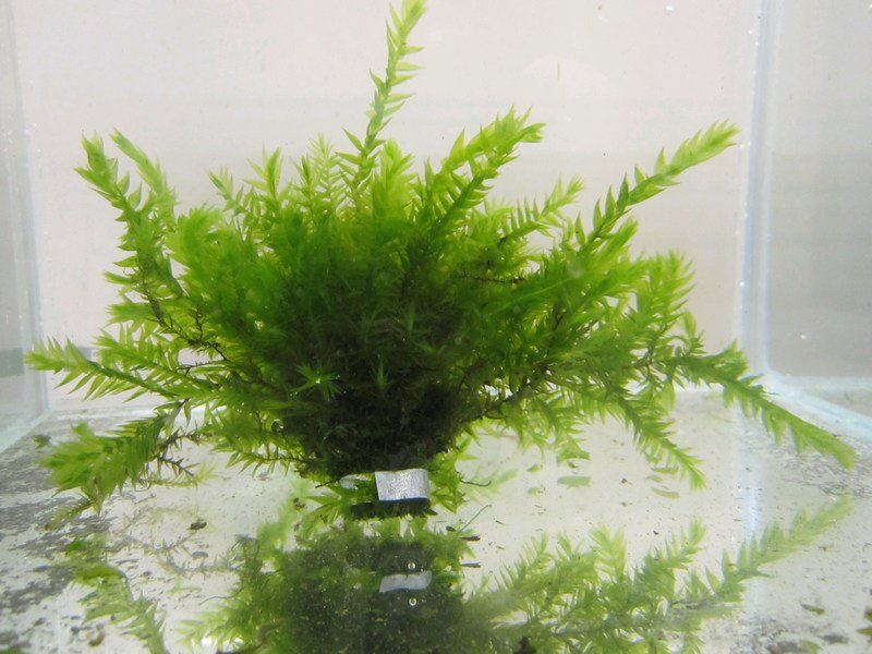 5 Bunches of Water Moss Fontinalis antipyretica (oxygenating)