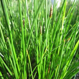 3x Common Spike-rush Eleocharis palustris - 9cm Pots