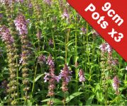 Marsh woundwort Stachys palustris - 3x 9cm Pots