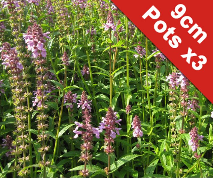 3x Marsh woundwort Stachys palustris - 9cm Pots