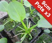 American Water Plantain Alisma parviflorum - 3x 9cm Pots - Cut Back