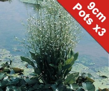 Water Plantain Alisma plantago-aquaticum - 3x 9cm Pots - Cut Back