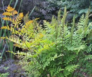 3x Royal Fern Osmunda regalis - 9cm pots