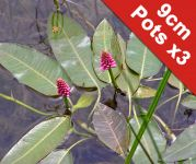Water Knotweed - Persicaria amphibia - 3x 9cm Pots