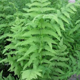 3x Marsh Fern Thelypteris palustris - 9cm pots