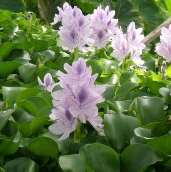 Water Hyacinth Eichhornia crassipes - Pack of 5