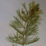 Spiked Water Milfoil Myriophyllum spicatum - Bunch of 5