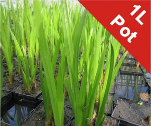 Sweet flag Acorus calamus - 1L Pot - Cut Back