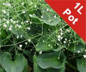 American Water Plantain Alisma parviflorum - 1L Pot - Cut Back