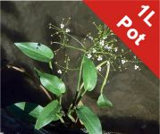 Water Plantain Alisma plantago-aquaticum - 1L Pot - Cut Back