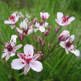 Large Flowering Rush Butomus umbellatus - 3L Pot