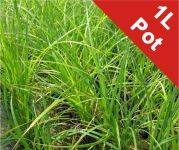 Bowles' Golden Sedge Carex 'Acuta' - 1L Pot
