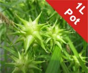 Gray's Sedge Carex Grayi - 1L Pot